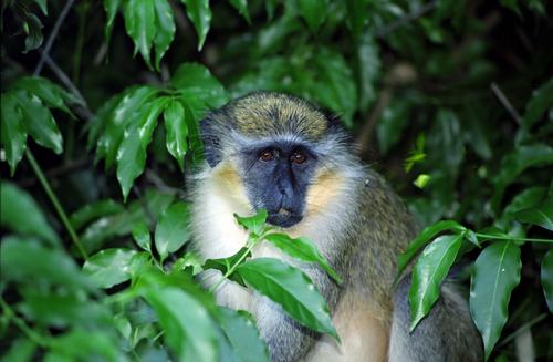 Green monkey Barbados