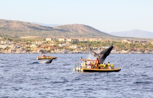 Los Cabos Cabo San Lucas whale watching