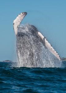 Whale Watching La Bahia de Banderas