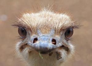 Ostrich at Casela Nature Park, Mauritius
