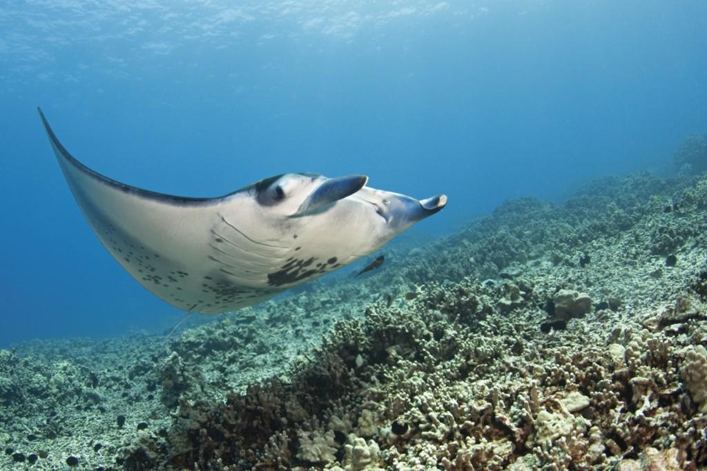Manta Ray Hawaii Island