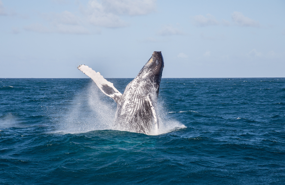 Samana Whales