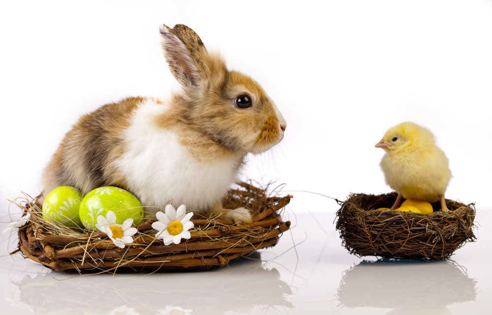 Bunny Chick pic