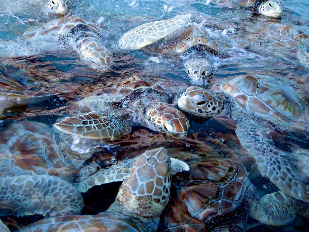 baby turtles isla mujeres